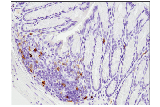 Immunohistochemical analysis of paraffin-embedded mouse colon using PD-1 (D7D5W) XP<sup>®</sup> Rabbit mAb (Mouse Specific).