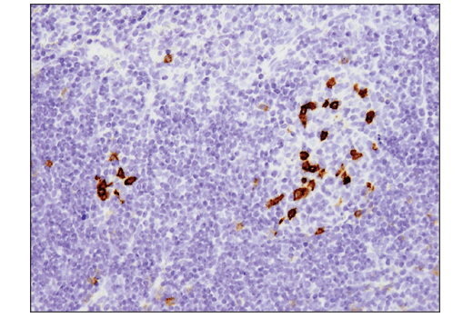Immunohistochemical analysis of paraffin-embedded mouse spleen using PD-1 (D7D5W) XP<sup>®</sup> Rabbit mAb (Mouse Specific).