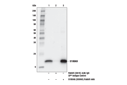 Immunoprecipitation of S100A9 from THP-1 cell extracts. Lane 1 is 10% input, lane 2 is Rabbit (DA1E) mAb IgG XP<sup>®</sup> Isotype Control #3900, and lane 3 is S100A9 (D5O6O) Rabbit mAb. Western blot analysis was performed using S100A9 (D5O6O) Rabbit mAb.