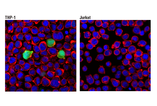 Confocal immunofluorescent analysis of THP-1 cells (left, high-expressing) and Jurkat cells (right, low-expressing) using S100A9 (D5O6O) Rabbit mAb (green). Actin filaments were labeled with Alexa Fluor 555<sup>®</sup> Phalloidin #8953 (red). Blue pseudocolor = DRAQ5<sup>®</sup> (fluorescent DNA dye).
