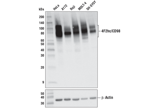 Western blot analysis of extracts from various cell lines using 4F2hc/CD98 (D3F9D) XP<sup>®</sup> Rabbit mAb (upper) and β-actin (D6A8) Rabbit mAb #8457 (lower).