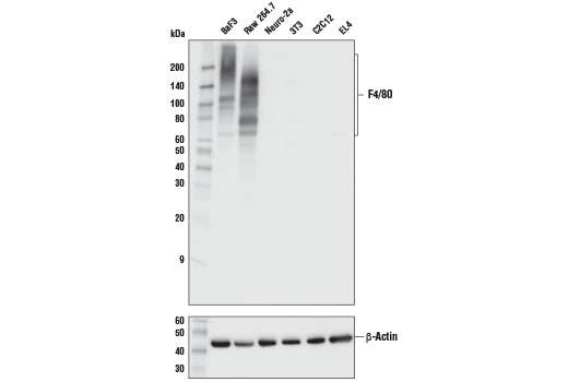 Western blot analysis of extracts from various cell lines using F4/80 (D2S9R) XP<sup>®</sup> Rabbit mAb (upper) or β-Actin (D6A8) Rabbit mAb #8457 (lower).