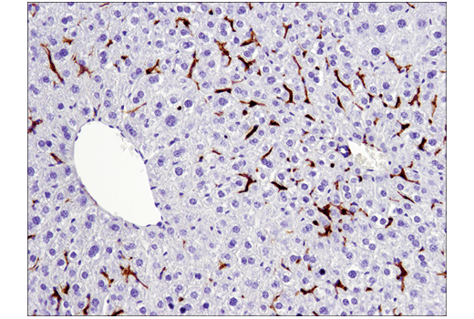 Immunohistochemical analysis of paraffin-embedded mouse liver using F4/80 (D2S9R) XP<sup>®</sup> Rabbit mAb.
