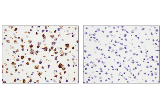 Immunohistochemical analysis of paraffin-embedded THP-1 cell pellet (left, positive) or Raji cell pellet (right, negative) using CD11c (D3V1E) XP<sup>® </sup>Rabbit mAb.