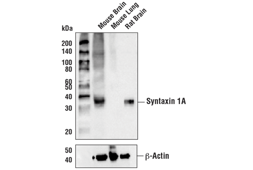 Western blot analysis of extracts from mouse brain, mouse lung, and rat brain using Syntaxin 1A (D4E2W) Rabbit mAb (upper) or β-Actin (D6A8) Rabbit mAb #8457 (lower).