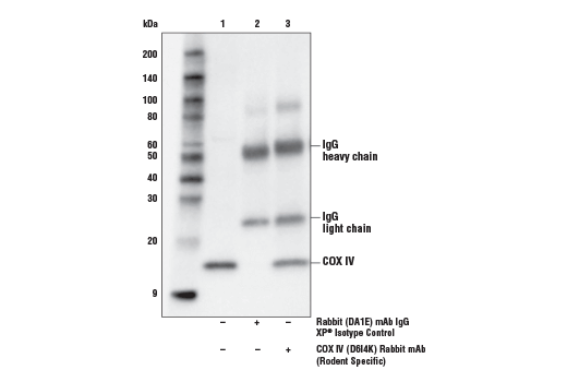 Immunoprecipitation of COX IV from C2C12 cell extracts. Lane 1 is 10% input, lane 2 is Rabbit (D1AE) mAb IgG XP<sup>®</sup> Isotype Control #3900, and lane 3 is COX IV (D6I4K) Rabbit mAb (Rodent Specific). Western blot was performed using COX IV (D6I4K) Rabbit mAb (Rodent Specific).
