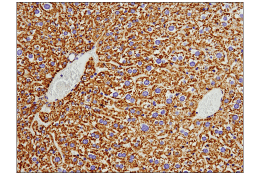 Immunohistochemical analysis of paraffin-embedded mouse liver using COX IV (D6I4K) Rabbit mAb (Rodent Specific).