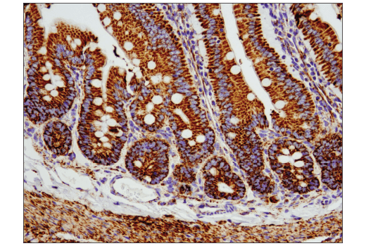 Monoclonal Antibody - COX IV (D6I4K) Rabbit mAb (Rodent Specific), UniProt ID P19783, Entrez ID 12857 #38563 - #38563