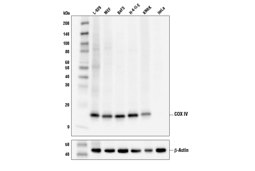 Western blot analysis of extracts from various cell lines using COX IV (D6I4K) Rabbit mAb (Rodent Specific) (upper) or β-Actin (D6A8) Rabbit mAb #8457 (lower).