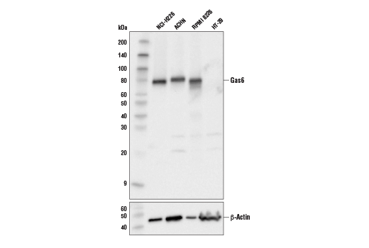 Western blot analysis of extracts from various cell lines using GAS6 (D3A3G) Rabbit mAb (upper) and β-Actin (D6A8) Rabbit mAb #8457 (lower).