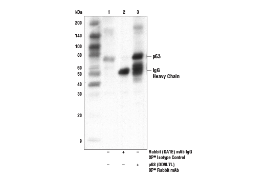 Immunoprecipitation of ME-180 cells. Lane 1 is 10% input, lane 2 is Rabbit (DA1E) mAb IgG XP<sup>®</sup> Isotype Control #3900, and lane 3 is p63 (D9L7L) XP<sup>®</sup> Rabbit mAb. Western blot analysis was performed using p63 (D9L7L) XP<sup>®</sup> Rabbit mAb.