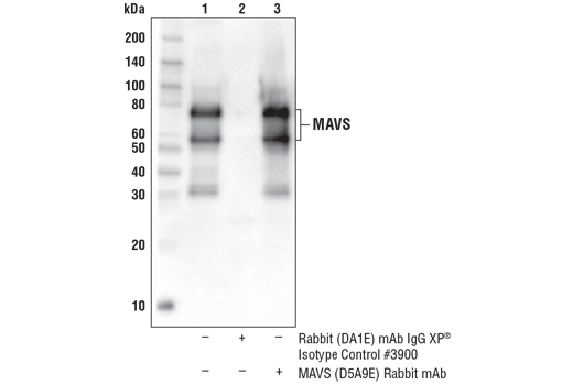 Immunoprecipitation of MAVS protein from MCF7 cell extracts. Lane 1 is 10% input, lane 2 is Rabbit (DA1E) mAb IgG XP<sup>®</sup> Isotype Control #3900, and lane 3 is MAVS (D5A9E) Rabbit mAb. Western blot was performed using MAVS (D5A9E) Rabbit mAb.