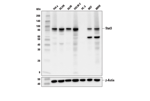 Western blot analysis of extracts from various cell lines using Stat3 (D1B2J) Rabbit mAb (upper) or β-Actin (D6A8) Rabbit mAb #8457 (lower).