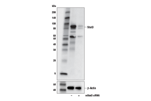 Western blot analysis of extracts from NIH/3T3 cells, mock transfected (-) or transfected with an siRNA against mouse Stat3 (mStat3 siRNA; +), using Stat3 (D1B2J) Rabbit mAb (upper) or β-Actin (D6A8) Rabbit mAb #8457 (lower).