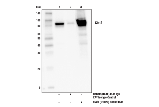 Immunoprecipitation of Stat3 from MCF7 cell extracts. Lane 1 is 10% input, lane 2 is Rabbit (DA1E) mAb IgG XP<sup>®</sup> Isotype Control #3900, and lane 3 is Stat3 (D1B2J) Rabbit mAb. Western blot was performed using Stat3 (D1B2J) Rabbit mAb. A conformation-specific secondary antibody was used to avoid reactivity with IgG.