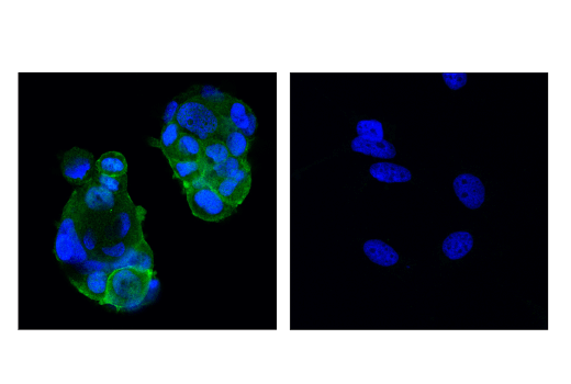 Monoclonal Antibody Immunofluorescence Immunocytochemistry Regulation of Growth