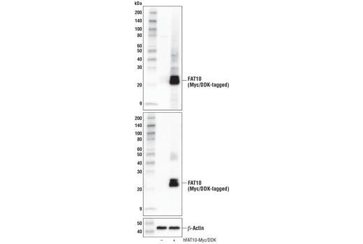 Monoclonal Antibody - FAT10 (D1Q3Y) Rabbit mAb - Western Blotting, UniProt ID O15205, Entrez ID 10537 #76194 - Ubiquitin and Ubiquitin-Like Proteins