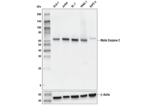 Western blot analysis of extracts from various cell lines using Malic Enzyme 2 (E1N3E) XP<sup>®</sup> Rabbit mAb (upper) or β-Actin (D6A8) Rabbit mAb #8457 (lower).