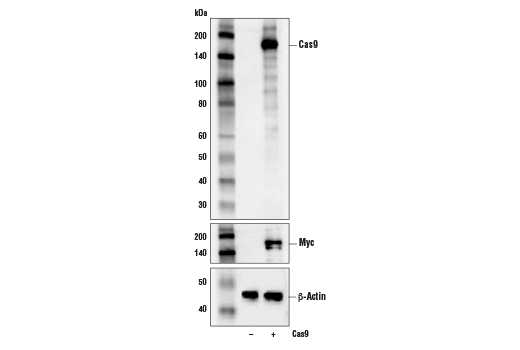 Image 10: Cas9 and Associated Proteins Antibody Sampler Kit