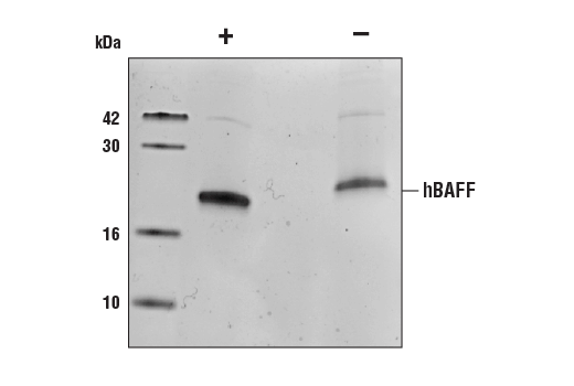 Growth Factors and Cytokines - Human BAFF/TNFSF13B (hBAFF), UniProt ID Q9Y275, Entrez ID 10673 #89628, Growth Factors/Cytokines