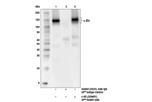 Immunoprecipitation of c-Kit protein from NCI-H526 cell extracts. Lane 1 is 10% input, lane 2 is Rabbit (DA1E) mAb IgG XP<sup>® </sup>Isotype Control #3900, and lane 3 is c-Kit (D3W6Y) XP<sup>®</sup> Rabbit mAb. Western blot analysis was performed using c-Kit (D3W6Y) XP<sup>®</sup> Rabbit mAb.