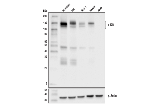 Western blot analysis of extracts from various cell lines using c-Kit (D3W6Y) XP<sup>®</sup> Rabbit mAb (upper) and β-actin (D6A8) Rabbit mAb #8457 (lower).