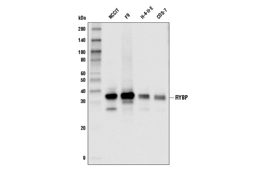 Monoclonal Antibody - RYBP (D8J7W) Rabbit mAb - Immunoprecipitation, Western Blotting, UniProt ID Q8N488, Entrez ID 23429 #41787 - Chromatin Regulation / Nuclear Function