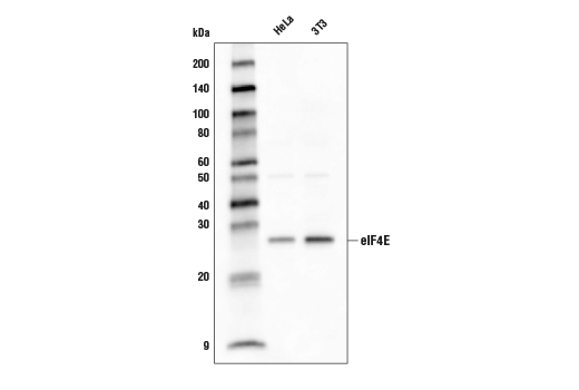 Western blot analysis of extracts from various cell lines using eIF4E (C46H6) Rabbit mAb (Biotinylated).