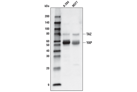 Western blot analysis of extracts from A-204 and MCF7 cells using YAP/TAZ (D24E4) Rabbit mAb (Biotinylated).
