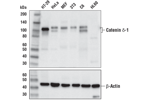 Western blot analysis of extracts from various cell lines using Catenin δ-1 (D7SS7M) XP<sup>® </sup>Rabbit mAb (upper) and β-Actin (D6A8) Rabbit mAb #8457 (lower).