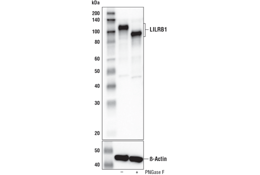 Western blot analysis of extracts from Daudi cells, untreated (-) or treated with PNGase F (+), using LILRB1/CD85j (D4L8L) Rabbit mAb (upper) and β-Actin (D6A8) Rabbit mAb #8457 (lower).