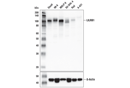 Western blot analysis of extracts from various cell lines using LILRB1/CD85j (D4L8L) Rabbit mAb (upper) and β-Actin (D6A8) Rabbit mAb #8457 (lower). As expected, LILRB1/CD85j protein is not detected in A-431 cells.