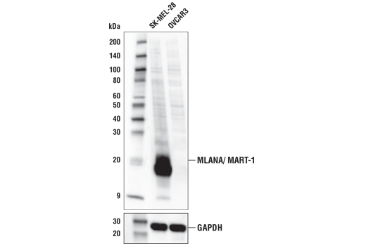 Western blot of extracts from SK-MEL-28 and OVCAR3 cells using MLANA/MART-1 Antibody (upper) and GAPDH (D16H11) XP<sup>®</sup> Rabbit mAb #5174 (lower). As expected, expression in OVCAR3 is low/negative.