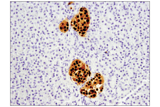 Immunohistochemical analysis of paraffin-embedded normal human pancreas using Pax6 (D3A9V) XP<sup>®</sup> Rabbit mAb.