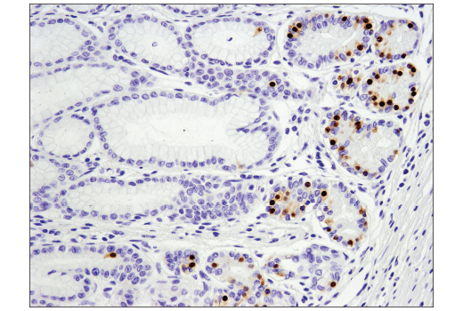 Monoclonal Antibody Immunohistochemistry Paraffin Eye Photoreceptor Cell Development - count 10