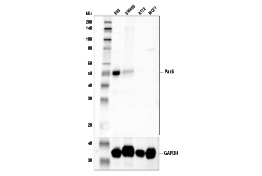 Western blot analysis of extracts from various cell lines using Pax6 (D3A9V) XP<sup>®</sup> Rabbit mAb (upper) and GAPDH (D16H11) XP<sup>®</sup> Rabbit mAb #5174 (lower). As expected, A172 and MCF7 cells are negative.