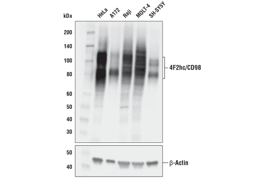 Western blot analysis of extracts from various cell lines using 4F2hc/CD98 (D5U4G) XP<sup>®</sup> Rabbit mAb (upper) and β-actin (D6A8) Rabbit mAb #8457 (lower).