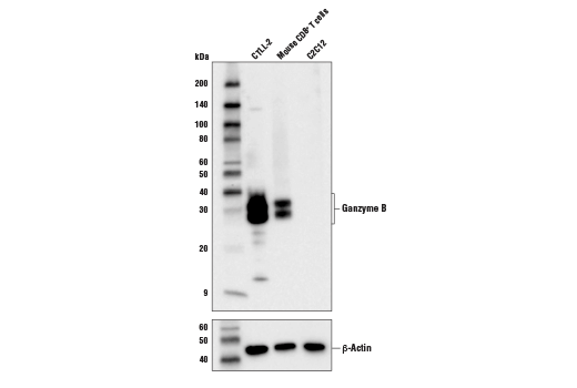 Western blot analysis of extracts from CTLL-2, C2C12, and Mouse CD8+ T cells using Granzyme B (D2H2F) Rabbit mAb (upper) and β-actin (D6A8) Rabbit mAb #8457 (lower).