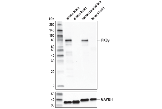 Western blot analysis of extracts from various tissues using PKCγ (D2V6T) Rabbit mAb (upper) or GAPDH (D16H11) XP<sup>®</sup> Rabbit mAb #5174 (lower).