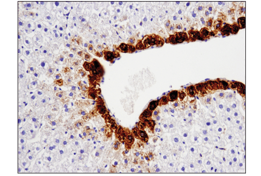 Immunohistochemical analysis of paraffin-embedded rat liver using GLUL (D2O3F) Rabbit mAb (IHC Formulated).