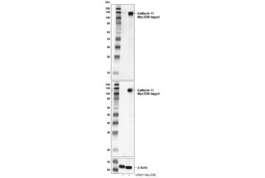 Polyclonal Antibody - Cadherin-17 Antibody - Western Blotting, UniProt ID Q12864, Entrez ID 1015 #42919, Adhesion