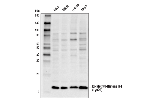 Western blot analysis of extracts from various cell lines using Di-Methyl-Histone H4 (Lys20) (D2S9P) Rabbit mAb.