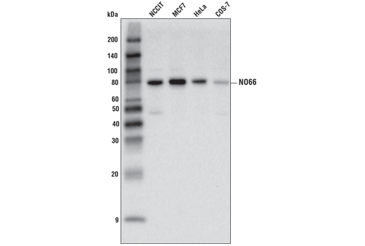 Western blot analysis of extracts from various cell lines using NO66 (D7C8E) Rabbit mAb.