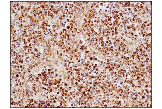 Monoclonal Antibody Western Blotting Mitochondrial Calcium Ion Transport