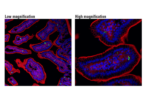 Confocal immunofluorescent analysis of mouse small intestine at low magnifiaction (left) and high magnification (right) using PYY (D1K3Q) Rabbit mAb (Mouse Specific) (green). Actin filaments were labeled with DyLight™ 554 Phalloidin #13054 (red). Blue pseudocolor = DRAQ5® #4084 (fluorescent DNA dye).