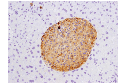 Immunohistochemical analysis of paraffin-embedded mouse pancreas using PYY (D1K3Q) Rabbit mAb (Mouse Specific).