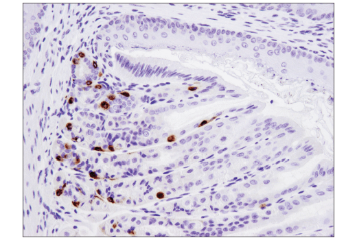 Immunohistochemical analysis of paraffin-embedded mouse stomach using PYY (D1K3Q) Rabbit mAb (Mouse Specific).