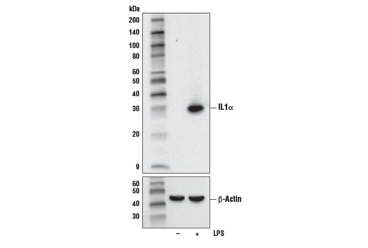 Western blot analysis of extracts from Raw 264.7 cells, untreated (-) or treated with LPS #14011 (5ug/ml, 7 hours; +), using IL1α (D4F3S) Rabbit mAb (Mouse Specific) (upper) or β-Actin (D6A8) Rabbit mAb #8457 (lower).