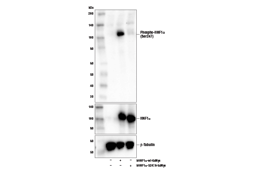 Polyclonal Antibody - Phospho-HNF1α (Ser247) Antibody - Western Blotting, UniProt ID P20823, Entrez ID 6927 #54542