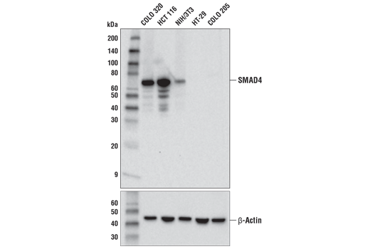 Western blot analysis of extracts from various cell lines using SMAD4 (D3R4N) XP<sup>®</sup> Rabbit mAb (upper) and β-Actin (D6A8) Rabbit mAb #8457 (lower). Specificity of the antibody is confirmed by the absence of signal in extracts from HT-29 and COLO 205 cells, both of which contain <i>Smad4</i> null mutations.